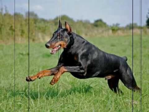 Doberman-La mejor raza de perros