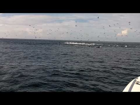 Super Tuna Frenzy - Hannibal Bank, Gulf Of Chiriqui, Panama