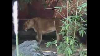 Lions Humping at the Zoo