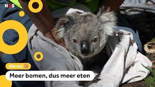 Drones strooien boomzaden voor hongerige koala's