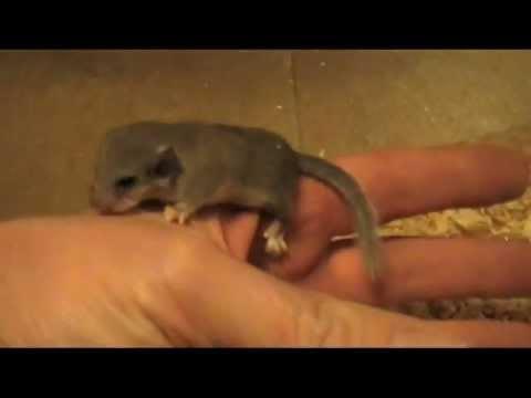 ♡ Baby Micro Squirrels! AKA African Pygmy Dormice Babies ♡