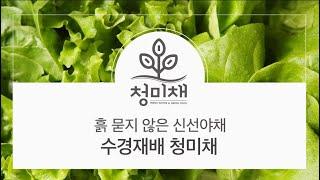 흙 묻지 않은 신선야채, 수경재배 청미채를 소개합니다.