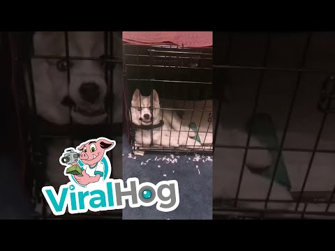Husky Pup Looks Absolutely Terrifying || ViralHog