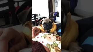 This is my two month old female pug. Her name is Pretzel and she lo...