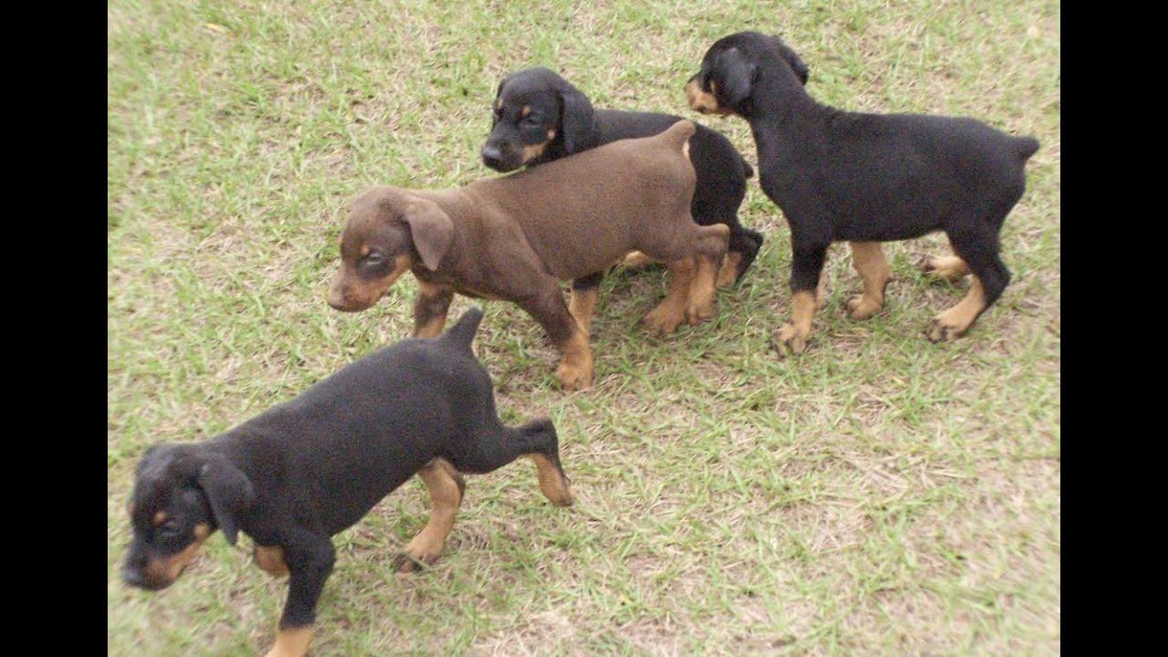 Doberman Pinscher, Puppies, Dogs, For Sale, In Montgomery ...