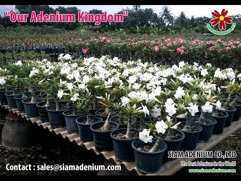 Adenium Plants Export Procedure