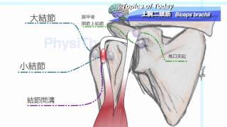 【解剖学】上腕二頭筋 Biceps Brachii:理学療法士による身体活動研究 上腕三頭筋損傷 検索動画 26