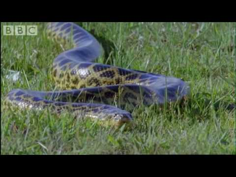 Attenborough - Anaconda give..