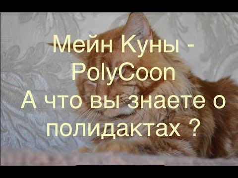 Мейн Кун полидакты ! А вы знаете кто это ? Maine Coon Polydactyl PolyCoon #Mainecoon