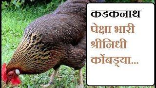 कडकनाथ पेक्षा भारी श्रीनिधी कोंबड्या चा व्यवसाय - Shrinidhi Hens Business