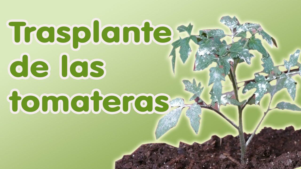 trasplante de tomateras plantar tomates cultivo del tomate youtube
