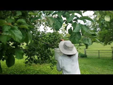 Japanese Beetle on Apples: organic method - beetle patrol