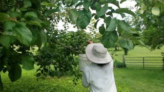 Japanese Beetle on Apples: organic method - beetle patrol