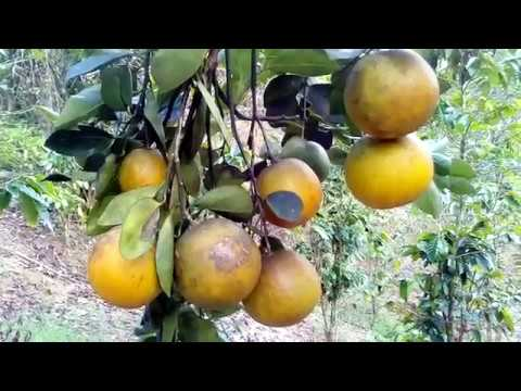 The joy of growing Valencia oranges citrus tree organic gardening fruits