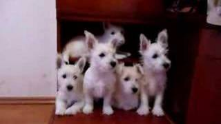 Westie Puppies Looking Sharp