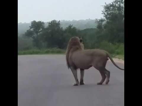Lion-Kruger Park
