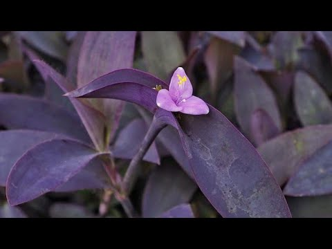 How to Propagate Tradescantia Pallida or Purple Heart Plant From Cuttings and Care