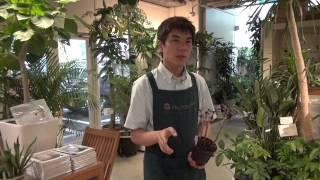 多肉植物(アエオニウム)の育て方・日常管理 夏場の管理方法