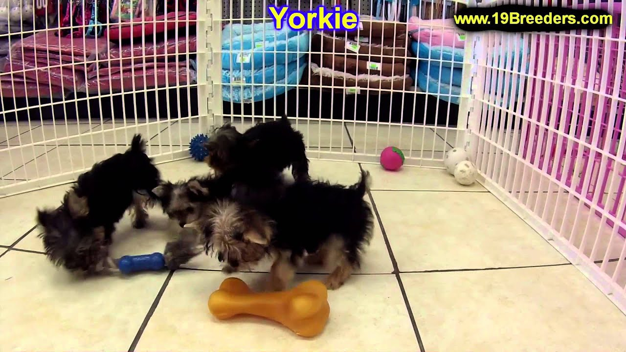 Yorkshire Terrier Puppies For Sale In Oklahoma City Oklahoma
