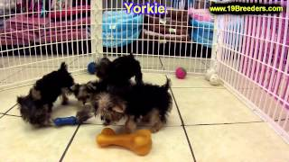 Yorkshire Terrier, Puppies, For, Sale, In, Oklahoma City, Oklahoma, Ok, Warr Acres, Guthrie, Weather