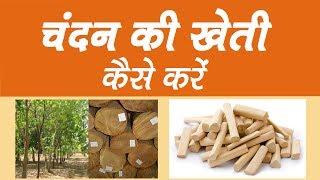 करोड़ों की कमाई कराने वाली चंदन की खेती कैसे करें || Chandan ki kheti kaise karen
