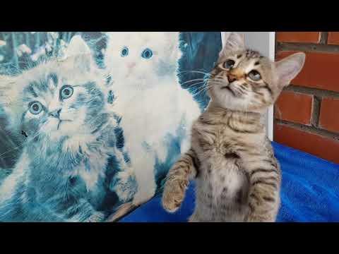 Котёнок Охос Азулес - Ojos azules Cats - моя кошечка играет