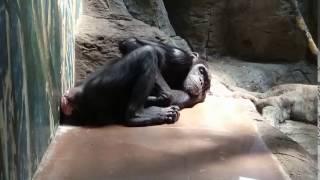夏バテなのかだらけているチンパンジーです。