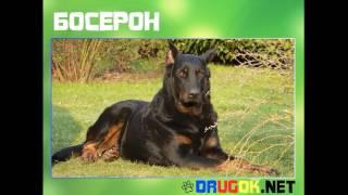 видео Собака Босерон (французская овчарка): описание породы, фото, цена щенков, отзывы