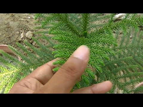 How To Grow And Care Araucaria Christmas Tree In Hindi And Urdu
