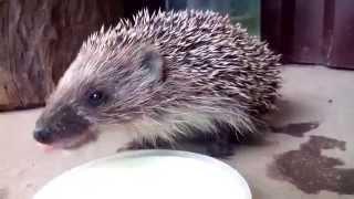 Ежонок и молоко / Hedgehog and milk