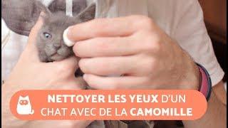 Nettoyer les yeux d'un chat avec de la camomille
