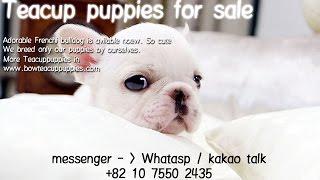 Amazing Mini French Bulldog For Sale