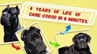 Четыре года жизни моей собаки Кане Корсо за 8 минут.#canecorso