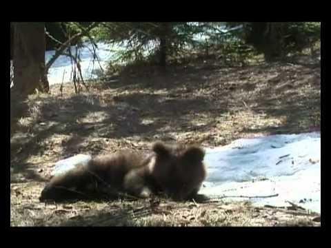 Помощь медвежатам сиротам..Rechabilitation And Treatment Bears AVI