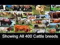 All 400 Cattle Breeds | Showing all Cow breeds in the World A to Z