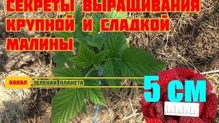 Как вырастить крупную и СЛАДКУЮ малину(В этом видео расскажу как выращивать и ухаживать за малиной весной, как вырастить крупную и сладкую малину...., 2016-04-14T09:56:48.000Z)