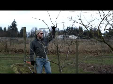 Developing Form in Plum Trees