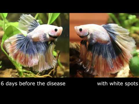 White Spots In My Betta, How To Treat ICH.