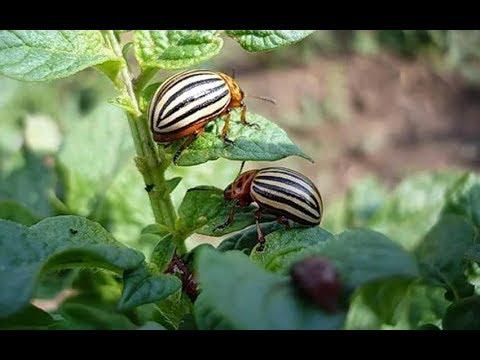 Легкий способ избавиться от колорадского жука! Без химии на картошке!