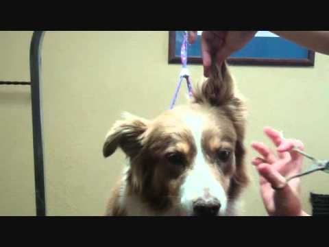 Grooming the Australian Shepherd, Topic: Trimming the ears.