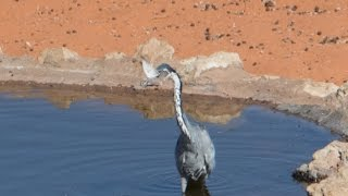 Heron catches and eats small bird