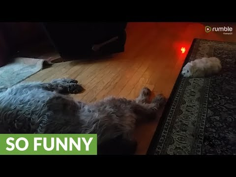 Determined puppy tries to wake up senior dog for playtime