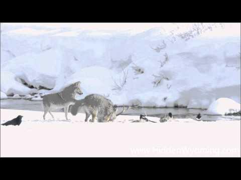 Yellowstone Cyotes