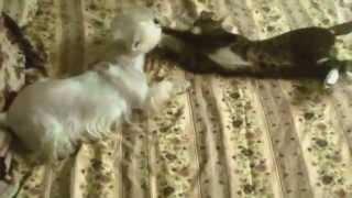 Вест-хайленд-уайт-терьер и кот/West Highland White Terrier and cat