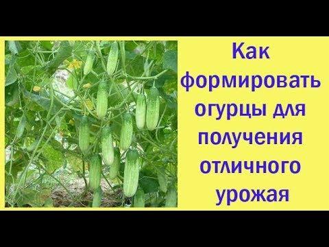Как формировать огурцы для получения отличного урожая. Сад и огород выпуск 268