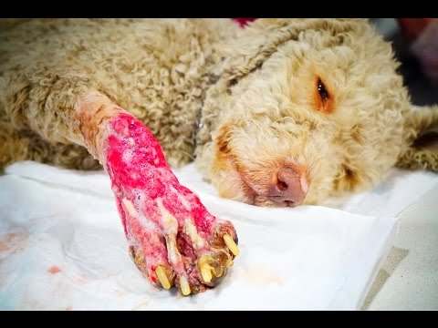 HONEY HAD HER LEG TORN DOWN!  THEN SHE WAS LET SUFFER IN PAIN!  HELP US SAVE HER!
