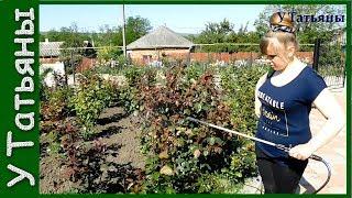 видео Зеленая тля на розах: как бороться, чем обработать