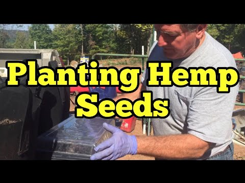 STARTING INDUSTRIAL HEMP SEEDS FOR CBD – Dragonwater Farm showing how to start industrial hemp seeds