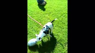 Staffordshire Bull Terrier Enjoying Playing Off Lead On Walk