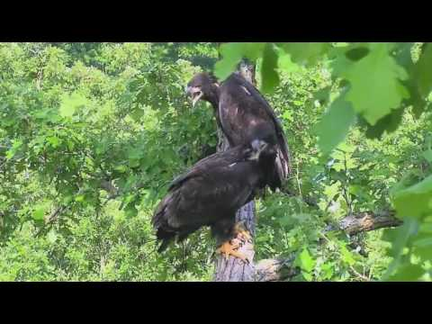 Decorah Eagles North Raccoon brought in by dad 06 09 2017
